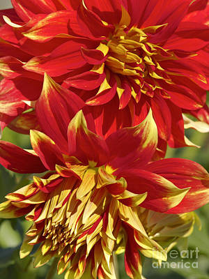 Photograph - Bodacious Dahlia 2 by Sharon Talson