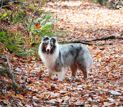 Miniature Collie Photograph - Bodhi's Fall Walk  by Barbara  Close