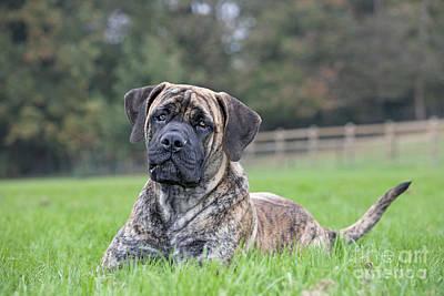Brindle Photograph - Boerboel Dog by Johan De Meester