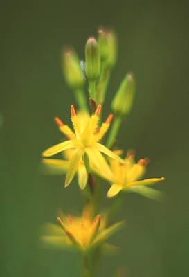 Bog Wall Art - Photograph - Bog Asphodel Flower by Simon Fraser/science Photo Library