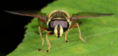 Hoverfly Wall Art - Photograph - Bog Hoverfly by Nigel Downer/science Photo Library