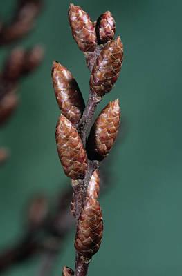 Bog Wall Art - Photograph - Bog Myrtle Flower Buds (myrica Gale) by Bob Gibbons/science Photo Library