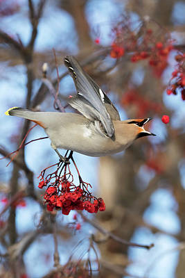 Bohemian Waxwing About To Catch Art Print by Doug Lindstrand