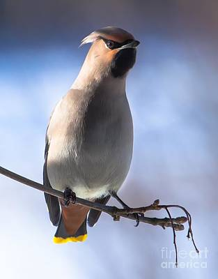 Art Print featuring the photograph Bohemian Waxwing Blue by Rose-Maries Pictures