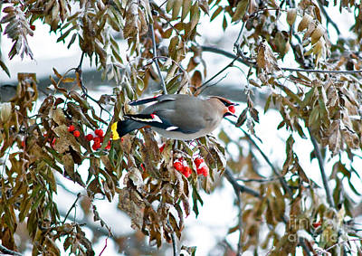 Photograph - Bohemian Waxwing Eating Berries by Terry Elniski