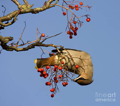 Photograph - Bohemian Waxwing Eating Rowan Berries by Liz Leyden