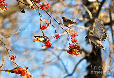 Photograph - Bohemian Waxwings Eating Berries 3 by Terry Elniski