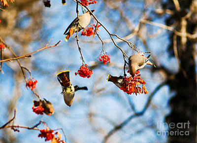 Photograph - Bohemian Waxwings Eating Berries 4 by Terry Elniski