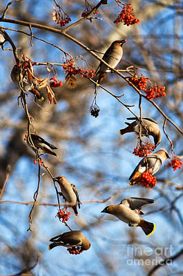 Photograph - Bohemian Waxwings Eating Berries 5 by Terry Elniski