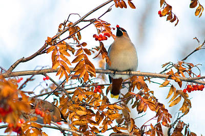 Photograph - Bohemian Waxwings Eating Berries 6 by Terry Elniski