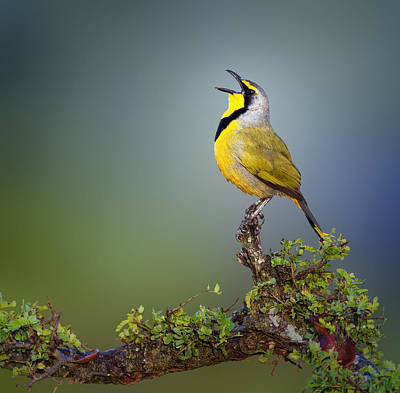 Birds Royalty-Free and Rights-Managed Images - Bokmakierie bird - Telophorus zeylonus by Johan Swanepoel