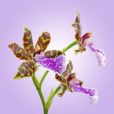 Photograph - Bold And Beautiful - Zygopetalum Orchid by Gill Billington
