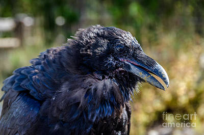 Photograph - Bold And Demanding Raven by Debra Martz