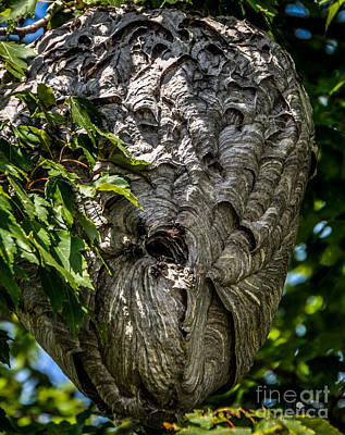 Photograph - Bold Faced Hornet Nest by Ronald Grogan