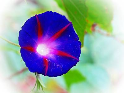 Photograph - Bold Morning Glory by MTBobbins Photography
