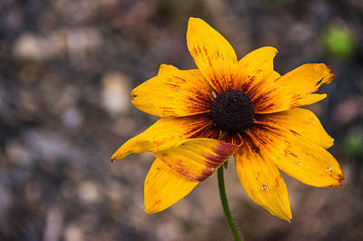 Photograph - Bold Yellow Flower by Jason Brow