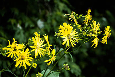 Photograph - Bold Yellow Flowers by Jason Brow