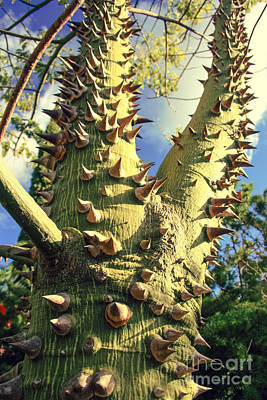 Photograph - Bombacaceae - Floss Silk Tree - Chorisia Speciosa Hawaii by Sharon Mau