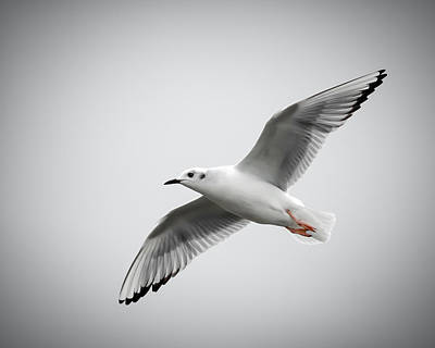 Photograph - Bonaparte Gull by James Barber