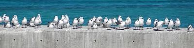 Photograph - Bonaparte's Gulls by Keith Stokes