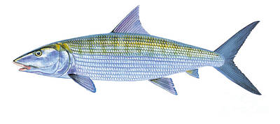 Bass Painting - Bonefish by Carey Chen