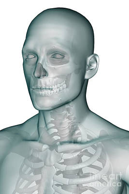 Bones Of The Head And Upper Thorax Art Print by Science Picture Co