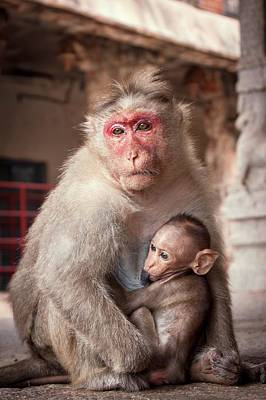 Bonnet Macaque And Baby Print by Paul Williams
