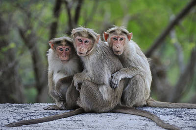 Animal Behavior Photograph - Bonnet Macaque Trio Huddling India by Thomas Marent