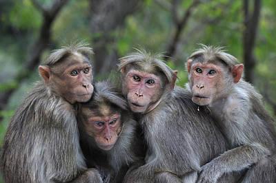 Bonnet Macaques Huddling India Art Print