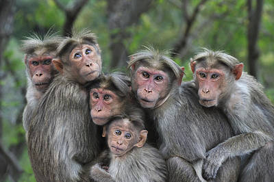 Animal Behavior Photograph - Bonnet Macaques Huddling Western Ghats by Thomas Marent