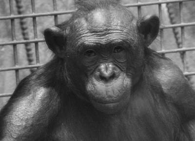 Photograph - Bonobo by Dan Sproul