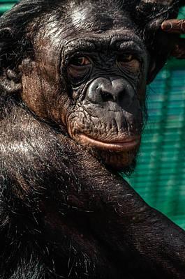 Humanlike Photograph - Bonobo Monkey by Brian Stevens