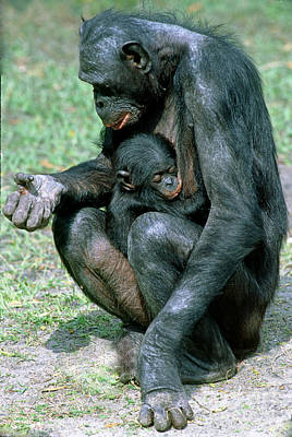 Bonobo Pan Paniscus Nursing Art Print by Millard H. Sharp