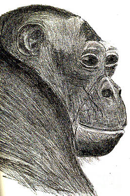 Drawing - Bonobo by Sandy McIntire