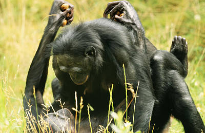 African Sex Photograph - Bonobos Mating by M. Watson