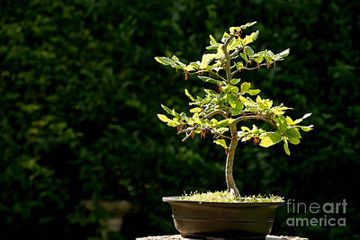 Planter Wall Art - Photograph - Bonsai by Jane Rix