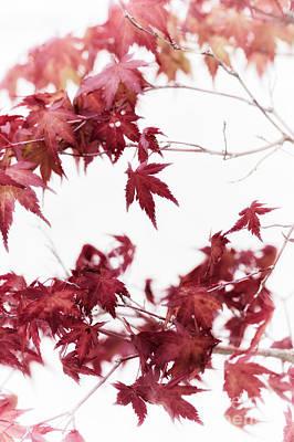 Katsura Wall Art - Photograph - Bonsai Japanese Maple by Tim Gainey