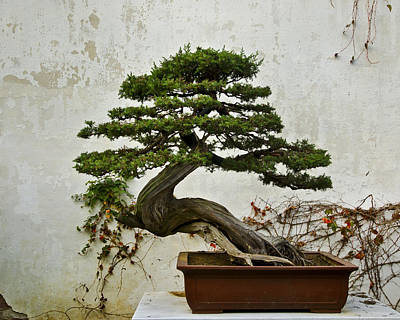 Photograph - Bonsai Suzhou China by Sally Ross
