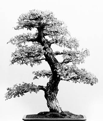 Photograph - Bonsai Tree by Sebastian Musial