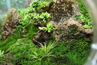 Mini Photograph - Bonsai Treet - Us Botanic Garden - 01134 by DC Photographer