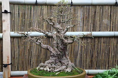 Mini Photograph - Bonsai Treet - Us Botanic Garden - 01137 by DC Photographer