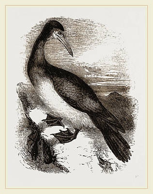 Boobies Drawing - Booby Or Brown Gannet by Litz Collection