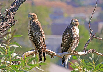 Red Tail Hawk Wall Art - Photograph - Bookends by Donna Kennedy