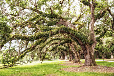 Large Oak Tree Photograph - Boones Oaks by Karol Livote