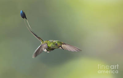 Booted Racket-tail Hummingbird Art Print