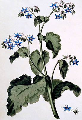 With Blue Painting - Borage With Blue Flowers by John Edwards