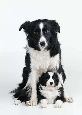 Best Friend Photograph - Border Collie Dog & Puppy by John Daniels