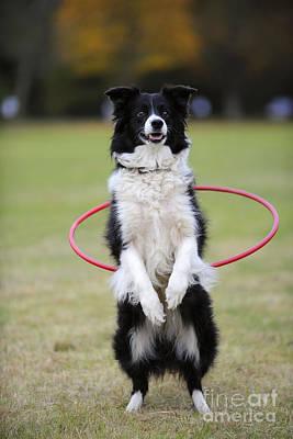 Photograph - Border Collie Hula Hoop by John Daniels