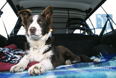 Pet Care Photograph - Border Collie In Car by Johan De Meester