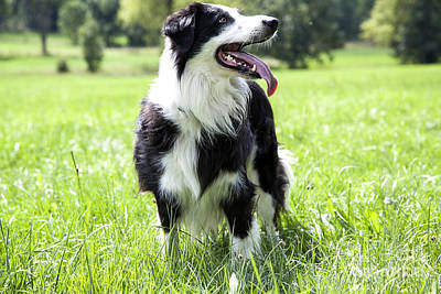 Loyality Photograph - Border Collie In The Nature by Regina Koch